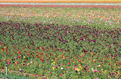 Flower Fields - Carlsbad, CA - 2011